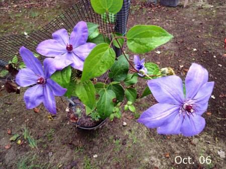October Blooming Clematis (Elsa Spath) - light purple clematis