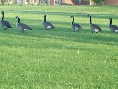 Canadian Geese walking in a row