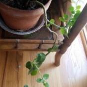Identifying a Leggy Plant - trailing plant
