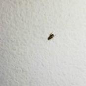Identifying Small Black Bugs - black bug