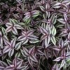Growing Wandering Jew (Tradescantia) - closeup of the green and purple leaves