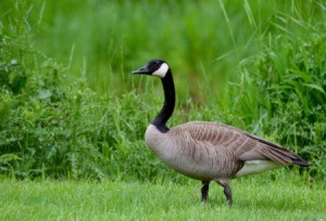Canada Goose on green grass.