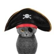 Grey cat in a pirate costume.
