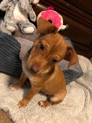 What Breed is My Chihuahua Mixed With? - brown puppy with head cocked
