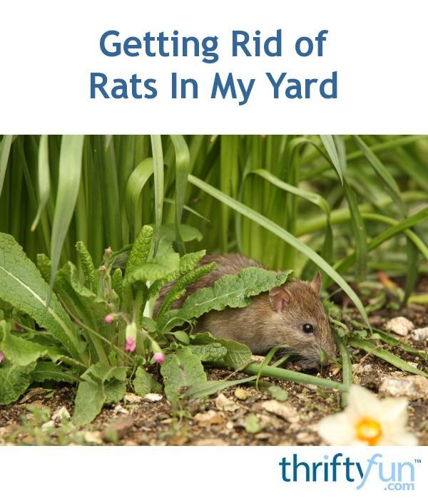 Getting Rid of Rats In My Yard?   ThriftyFun