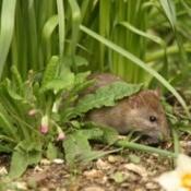 Rat in a garden bed.