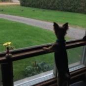 Happy (Yorkie) - watching wild turkeys