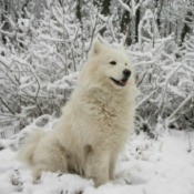 Breed Information: American Eskimo Dog - white dog in the snow