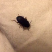Identifying a Bug - small dark colored bug