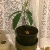 Avocado Growing at an Angle After Pruning - side shoot