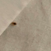 Bed Bug Identification