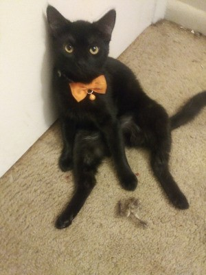 Cat Likes to Jump into Empty Garbage Can - black cat with orange bow collar