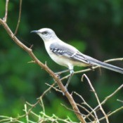 Mockingbird Photos - bird on leafless branch