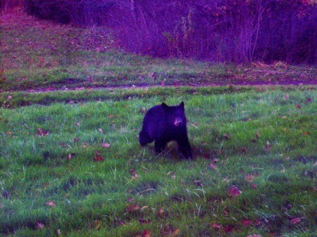 Yearling Bear Sightings