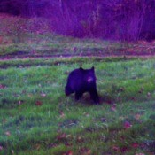 A bear in a grassy field.