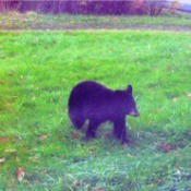 Yearling Bear Sightings - young black bear in the grass
