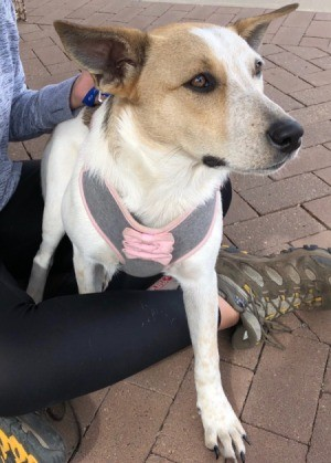 What Breed Is My Dog? - tan and white medium sized dog