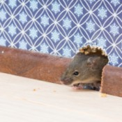 A mouse getting through a hole in a wall.