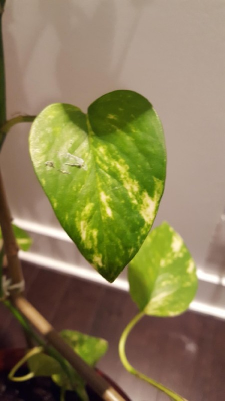 Insects Tearing Pothos Leaves