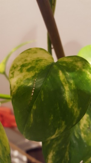 Insects Tearing Pothos Leaves - row of holes in leaf