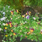 Growing Violas - mostly purple and yellow violas