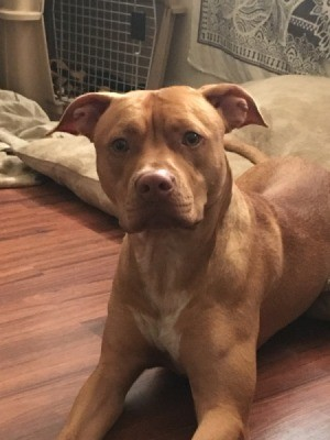 Is My APBT Full Blooded? - brown Pit with white on his chest