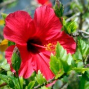 beautiful red hibiscus bloom