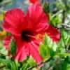 beautiful red hibiscus bloom