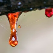 tree sap drops