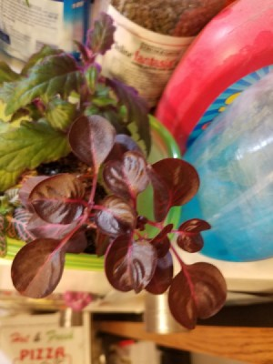 Identifying a Houseplant - dark red leafed plant