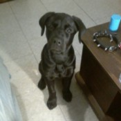 Bowser (Lab/Rotweiler) - black puppy sitting on a white floor