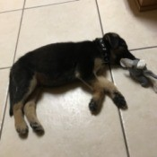 A German Shepherd puppy lying on the floor.