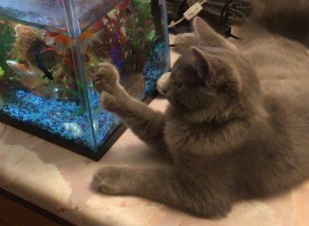 A grey cat next to a fish tank.