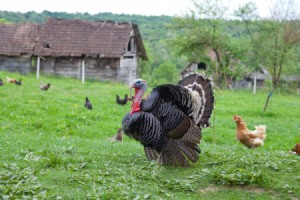 A turkey on a farm with some chickens.