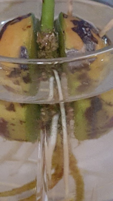 White Spot on Avocado Seed Growing in Water