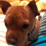 What Is My Chihuahua Mixed With? - closeup of a brown dog