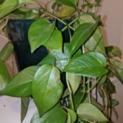 Identifying a Houseplant - climbing plant