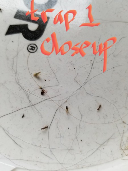 Identifying Household Bugs - bugs on a sticky trap