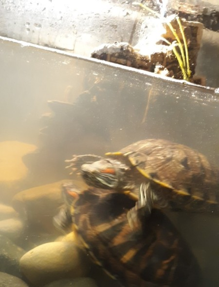 Cloudy Water in Turtle Tank - two turtles in tank
