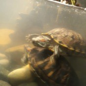 Cloudy Water in Turtle Tank - two turtles in tank
