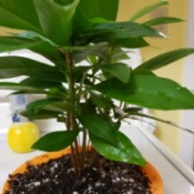 Identifying a Houseplant - multi stemmed plant with medium green leaves