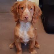 Toilet Training a Puppy - reddish brown and white Cocker puppy