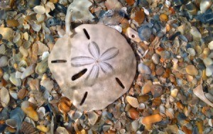 sand dollar lying on top of broken shells