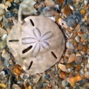 sand dollar lying on top of broken shells