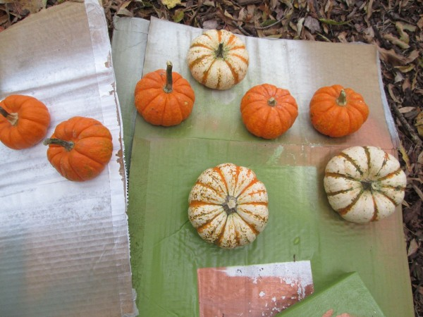 Transforming Gourds Into Elegant Decor - unpainted gourds on pieces of cardboard