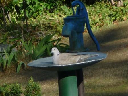 Dove Having a Bath - dove in a homemade bird bath