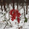 Red Oak Leaves - against a snowy woods