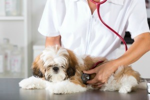 vet using a stethoscope on a dog