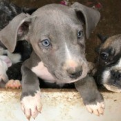 Is This Puppy a Full Blooded Pit Bull? - grey and white puppy