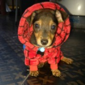 Twix (Dachshund/Chihuahua) - cute puppy in Spiderman outfit